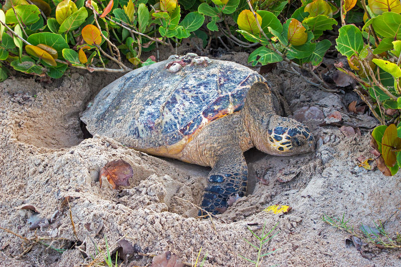 Barbados Hawksbill havssköldpadda som gräver en helhet på stranden i förberedelsen för att begrava ägg royaltyfria foton