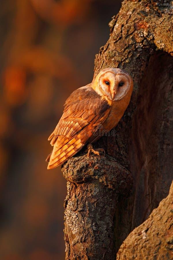 Barbagianni che si siedono sul tronco di albero alla sera con la luce piacevole vicino al foro del nido fotografia stock libera da diritti
