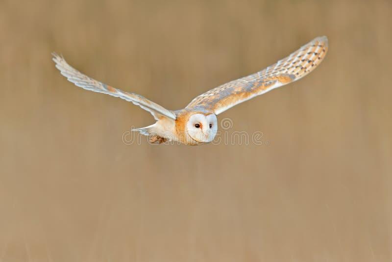 Barbagianni di volo, uccello selvaggio alla luce piacevole di mattina Animale nell'habitat della natura Atterraggio nell'erba, sc fotografia stock libera da diritti