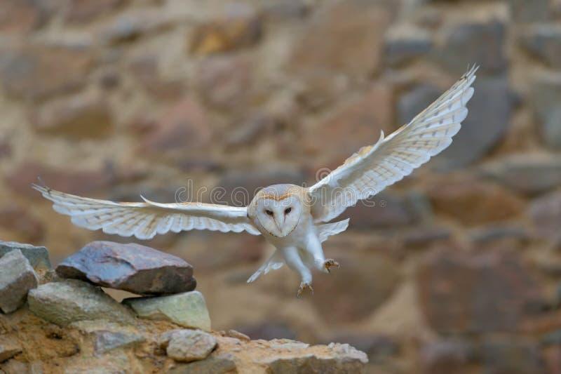 Barbagianni, tyto alba, con le ali piacevoli che volano sulla parete di pietra, atterraggio leggero nel vecchio castello, animale immagine stock libera da diritti