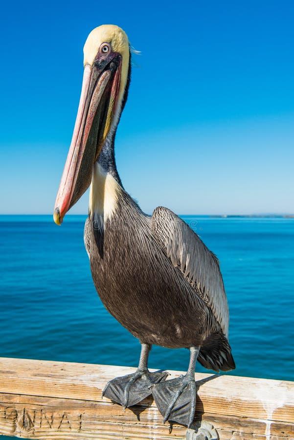 barbara belfra brąz California środkowy nabrzeżny wczesny piórek marina ranek pelikan umieszczał molo Santa obraz royalty free