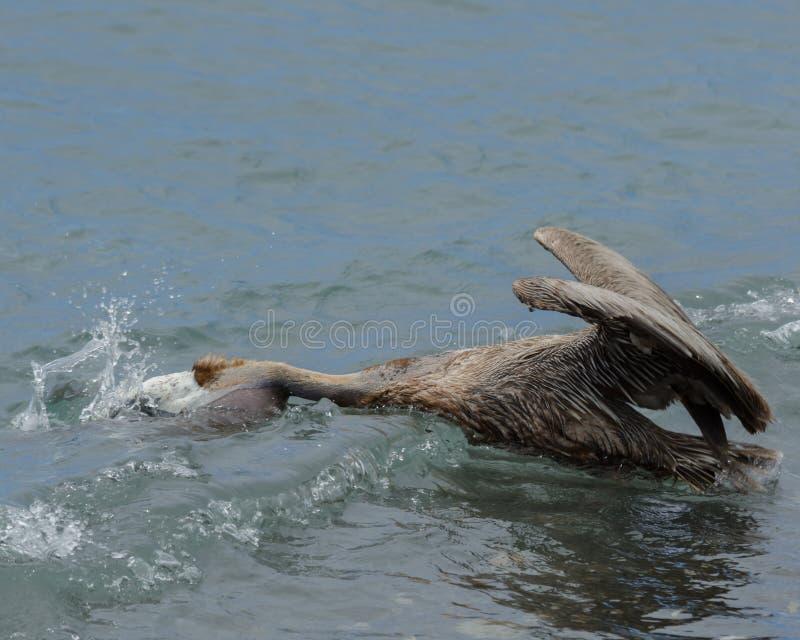 barbara belfra brąz California środkowy nabrzeżny wczesny piórek marina ranek pelikan umieszczał molo Santa zdjęcie stock