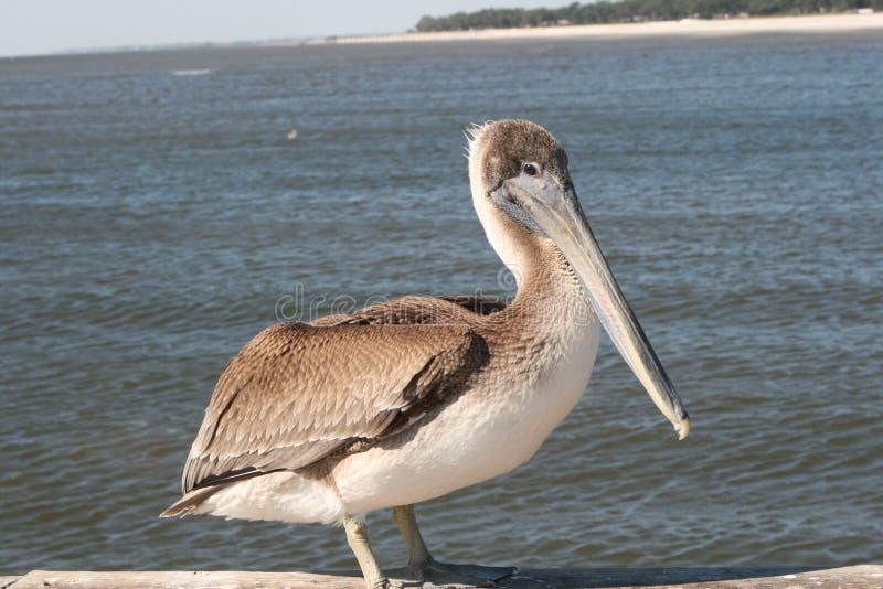 barbara belfra brąz California środkowy nabrzeżny wczesny piórek marina ranek pelikan umieszczał molo Santa zdjęcia royalty free