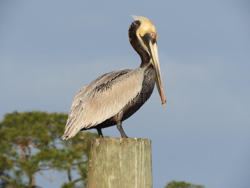 barbara belfra brąz California środkowy nabrzeżny wczesny piórek marina ranek pelikan umieszczał molo Santa obrazy stock