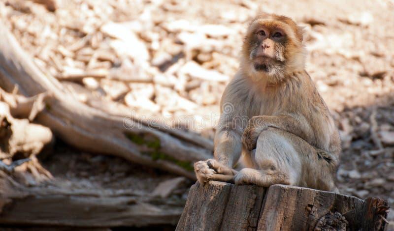 Barbarije Macaque royalty-vrije stock afbeeldingen