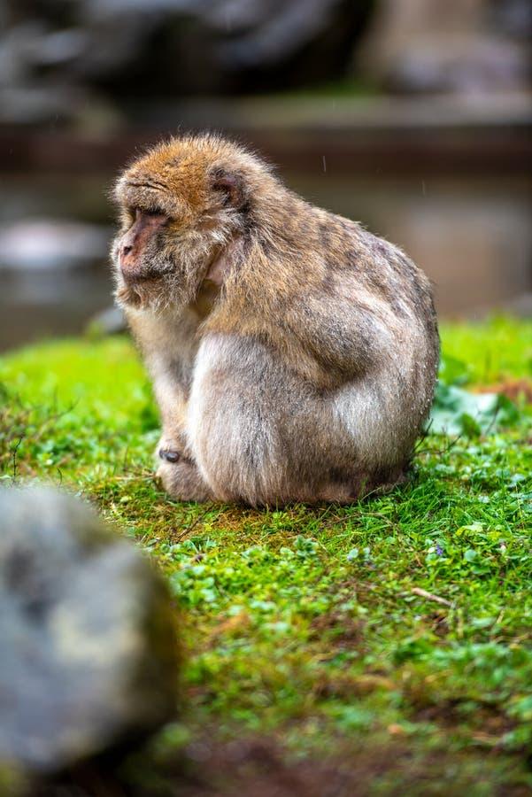 Barbarije Macaque in de regen stock afbeeldingen
