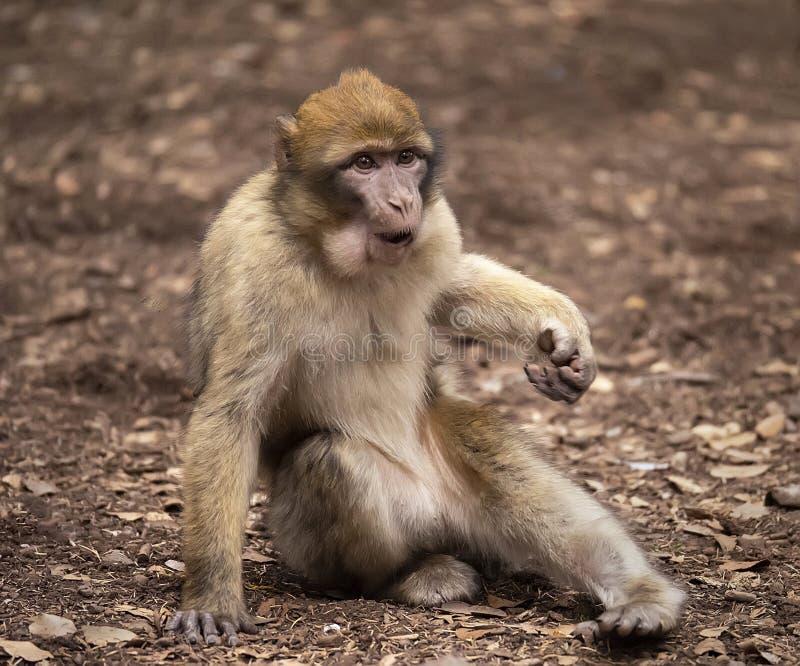 Barbarije Macaque in Marokko stock afbeeldingen