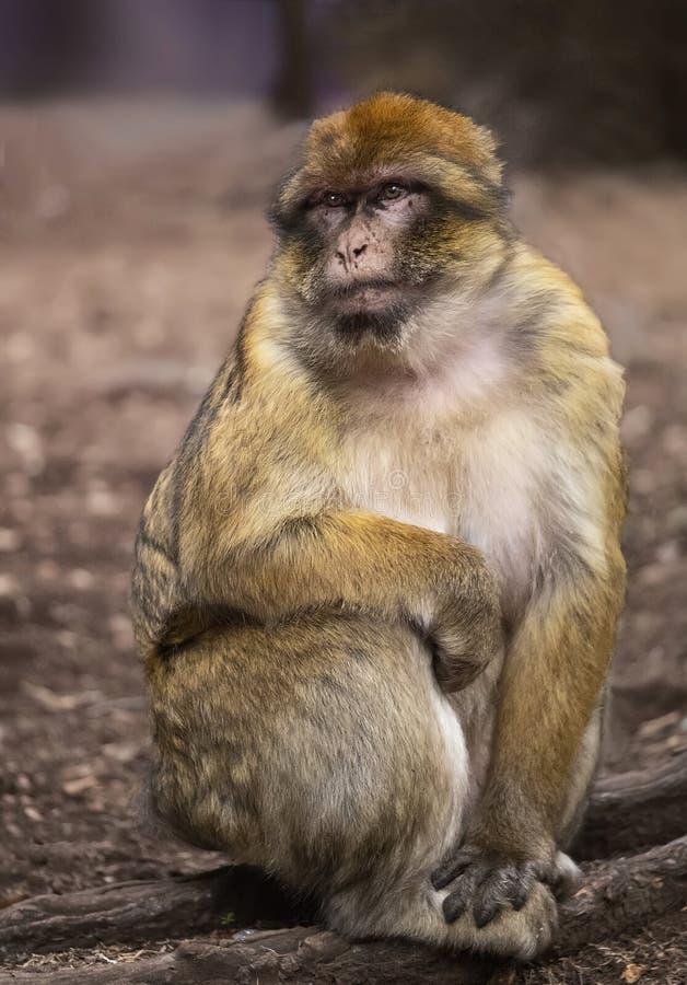 Barbarije Macaque in Marokko royalty-vrije stock foto