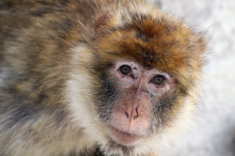 Barbary Ape. Closeup of a curious Barbary Ape royalty free stock photo
