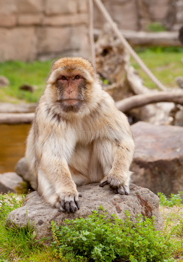 Barbary ape. Portrait of Barbary ape in nature royalty free stock photo