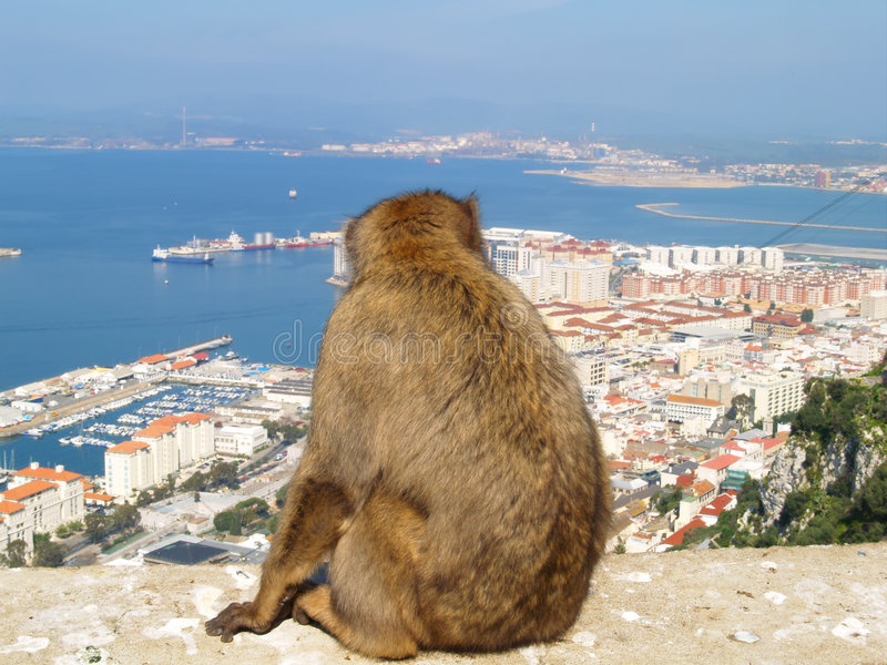 Barbary Ape. Admiring the town of Gibraltar stock image