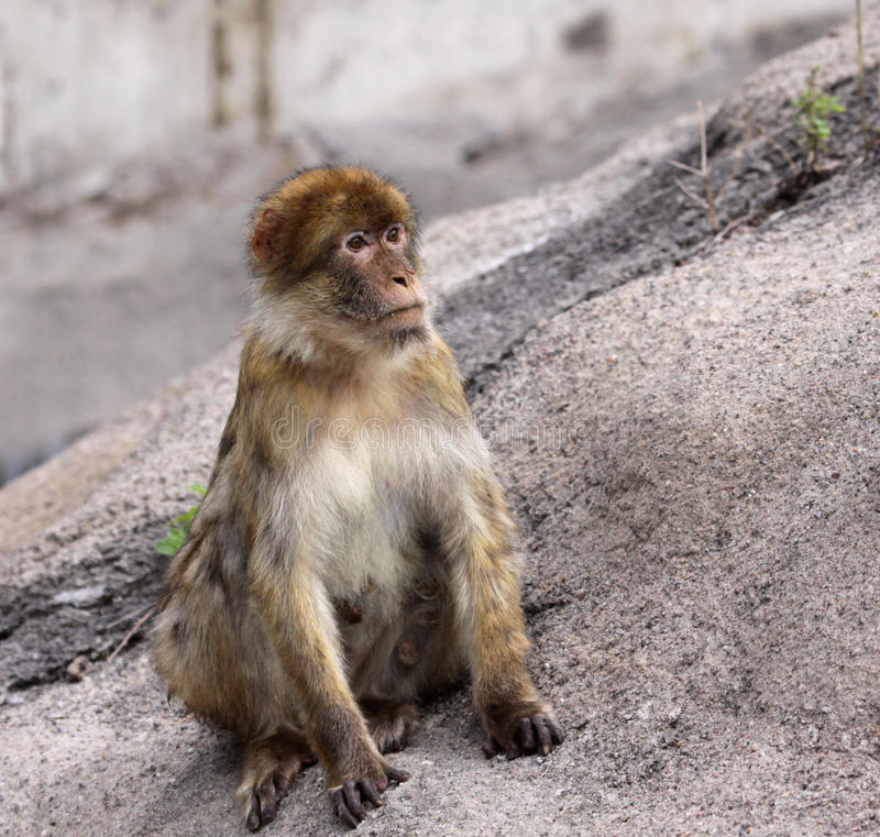 Download Barbary Ape stock image. Image of rock, macaca, monkeys - 22256093