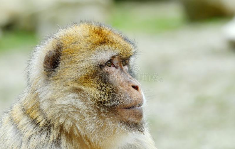 Download Barbary ape stock photo. Image of funny, monkey, africa - 4975724