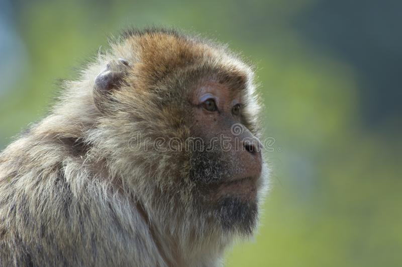 Download Barbary Ape stock photo. Image of young, creature, animal - 796914