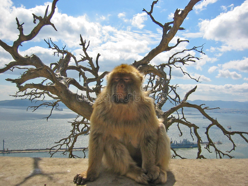 Barbary ape. Resting on a wall on the rock of gibraltar stock images