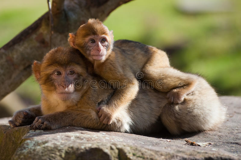 Barbary ape and baby. Mother and baby barbary ape royalty free stock image