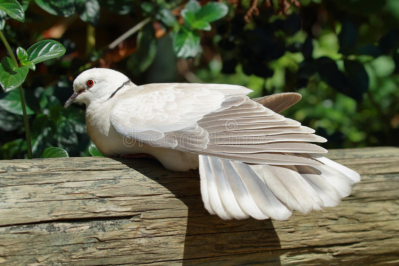 Barbary dove. Bird in South Africa stock image