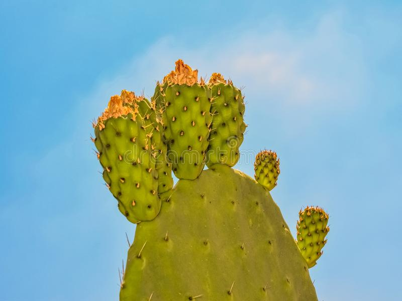 Barbary Fig, Nopal, Cactus, Prickly Pear royalty free stock photography