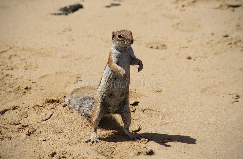 Barbary Ground Squirrel stock photography