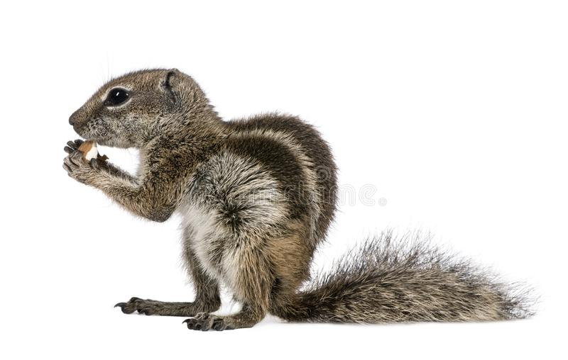 Barbary Ground Squirrel eating nut, Atlantoxerus getulus. Against white background, studio shot stock photo
