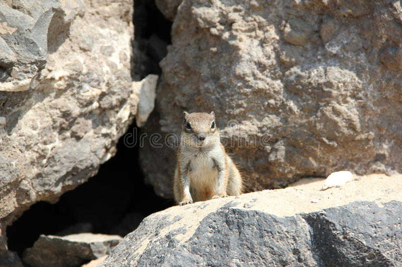 Barbary ground squirrel, Fuerteventura, Canary Islands. The Barbary ground squirrel (Atlantoxerus getulus) is a species of rodent in the family Sciuridae. It is royalty free stock photo