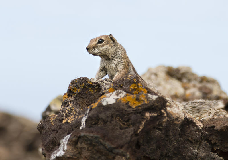 Barbary Ground Squirrel in Fuerteventura, Spain. A Barbary Ground Squirrel, Atlantoxerus getulus on a volcanic rock in Fuerteventura, Spain stock photo