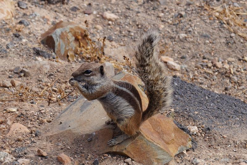 Atlantoxerus getulus - Barbary ground squirrel. The barbary ground squirrel is the most famous animal on Fuerteventura canary Island spain and be loved by the royalty free stock photography