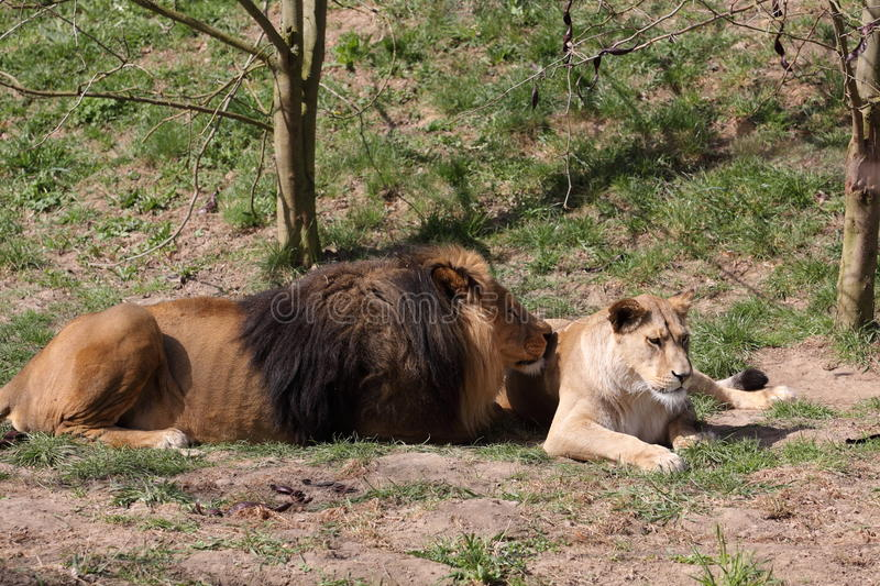 Barbary lion. The couple of barbary lions (Panthera leo leo royalty free stock image
