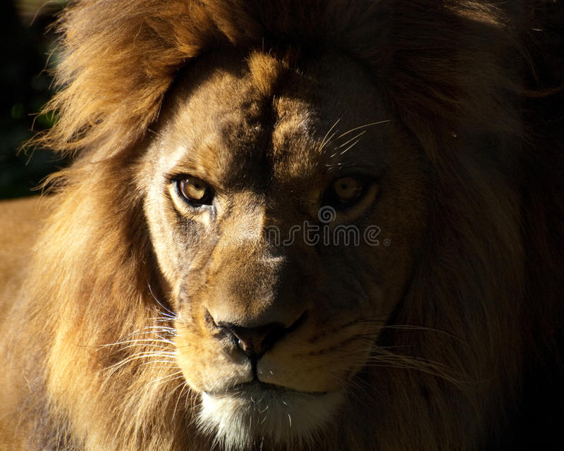 Barbary lion. Sunbathing in the late afternoon royalty free stock photography