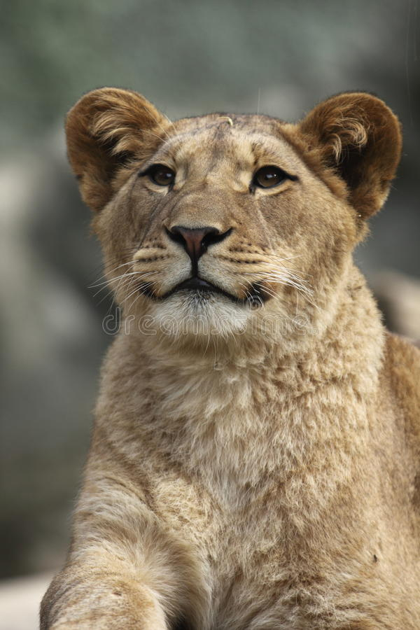 Barbary lion. The detail of upper body of barbary lion stock photo