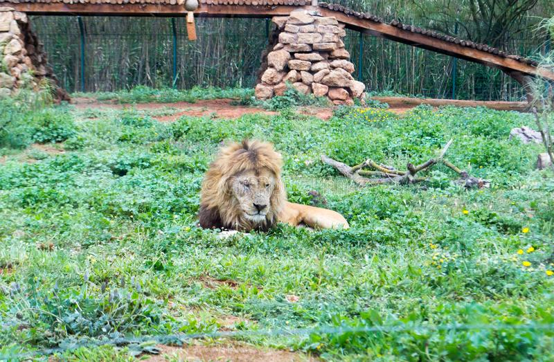 Barbary lion aka Atlas lion royalty free stock photos