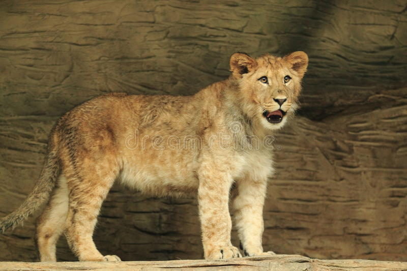 Barbary lion cub. The cub of barbary lion royalty free stock photo
