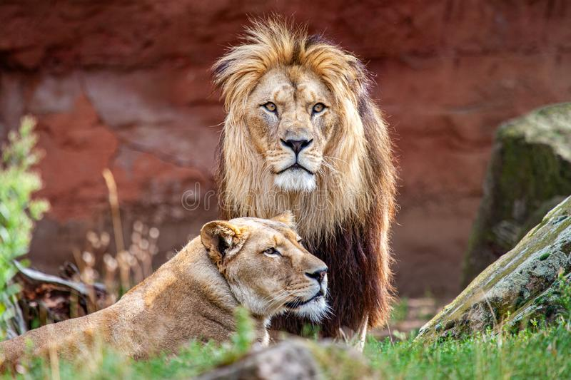 Barbary lion and lioness. The Barbary lion was also called North African lion, Berber lion and Atlas lion stock image