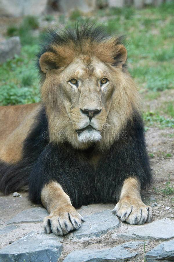 Barbary lion. (Panthera leo leo royalty free stock images