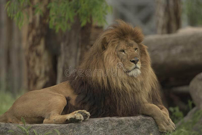 Barbary lion. Portrait in the wild royalty free stock images