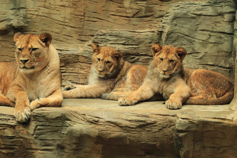 Barbary lions. The couple of barbary lion cubs with their mother royalty free stock photos