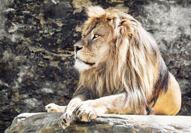 Barbary lwa portret, lwa królewiątko (Panthera Leo Leo) zdjęcia stock