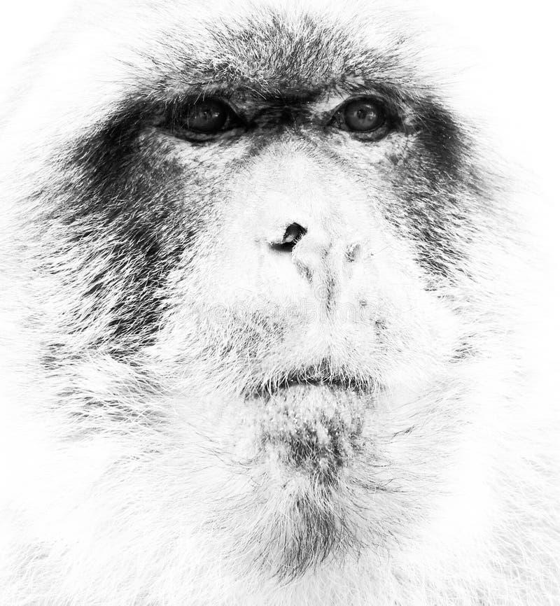Barbary małpa zdjęcia royalty free