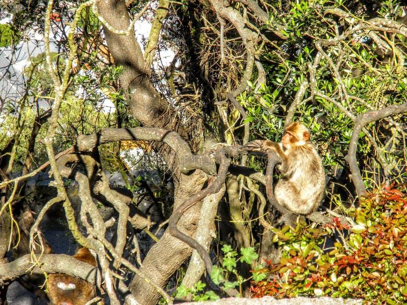 Barbary małpy małpy obsiadanie na skale Gibraltar, Europa obraz royalty free