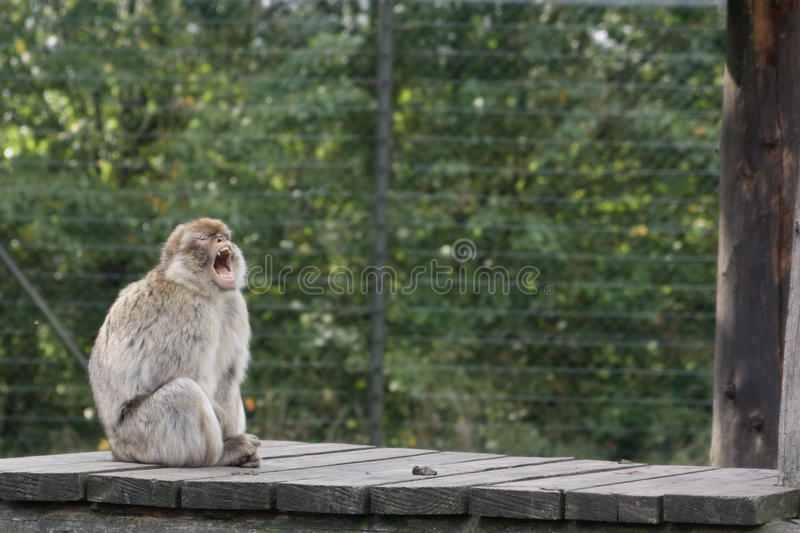 Download Barbary Macaque stock image. Image of single, sitting - 11212075