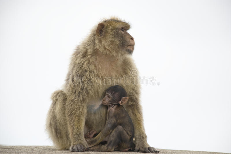 Download Barbary Macaque stock photo. Image of head, young, baby - 16445736