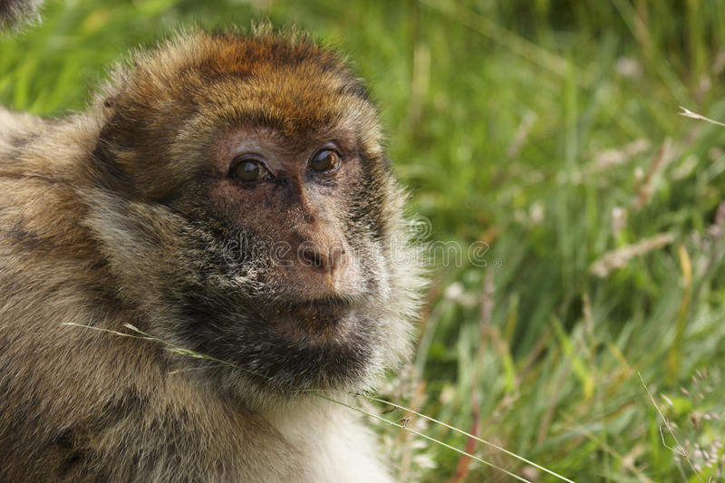 Download Barbary Macaque Royalty Free Stock Photos - Image: 20331378