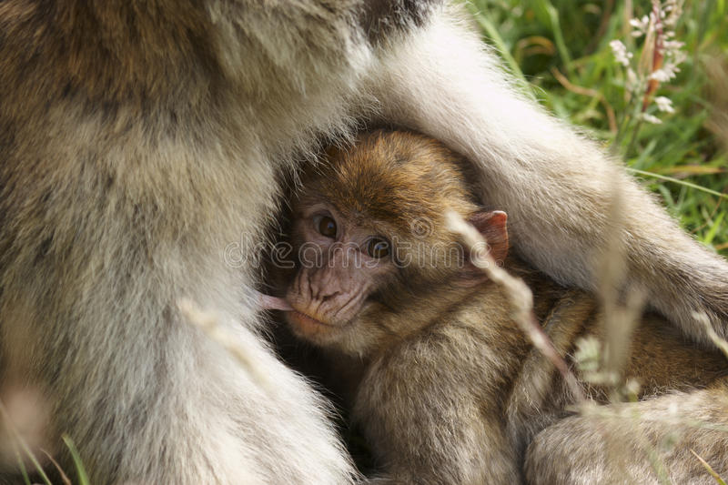 Download Barbary Macaque stock image. Image of barbary, monkey - 20331397