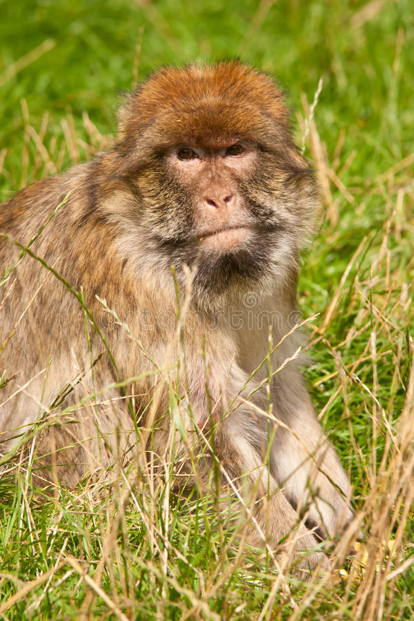 Download Barbary Macaque stock photo. Image of portrait, macaque - 21121294