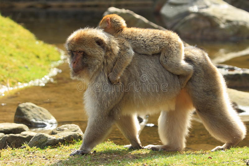 Barbary macaque. The adult barbary bearing its suckling on its back stock photo