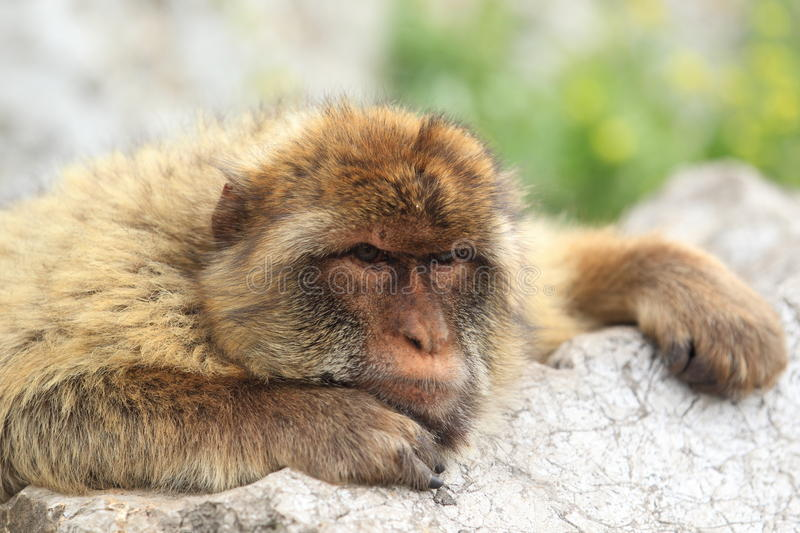 Download Barbary macaque stock photo. Image of nature, sylvanus - 24872432