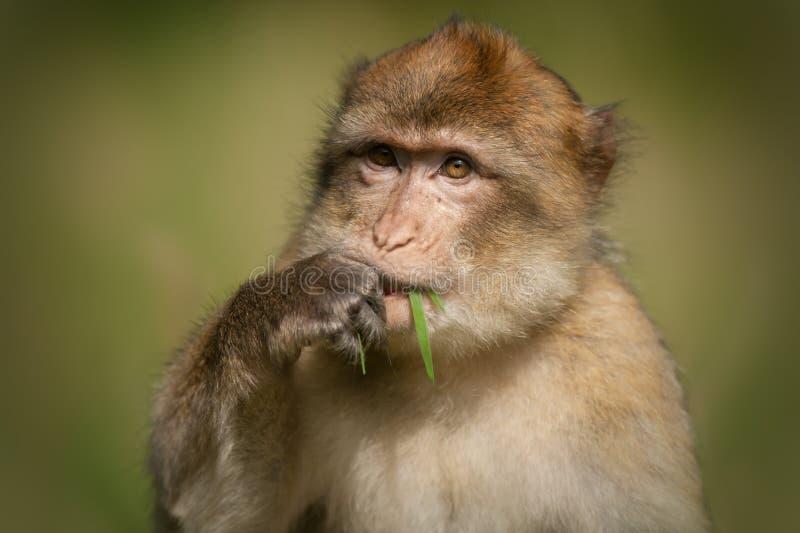 Download Barbary Macaque stock image. Image of barbary, kingdom - 27902413