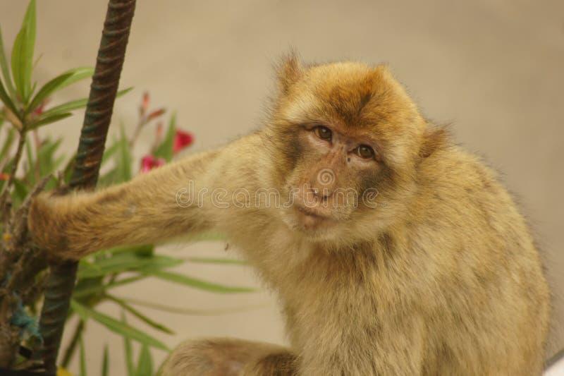 Download Barbary macaque arkivfoto. Bild av natur, övre, reserv - 37349550