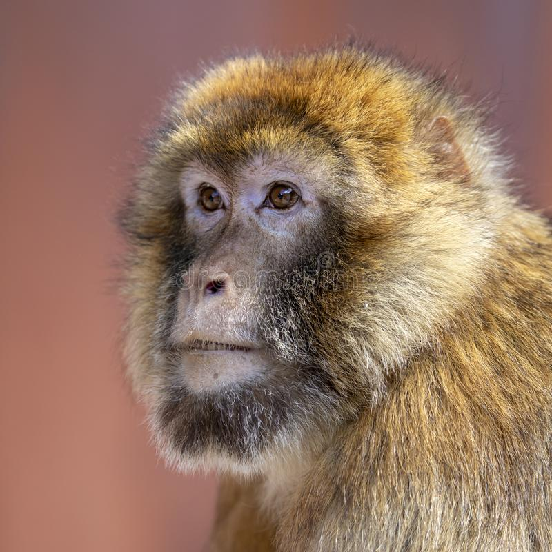 Barbary macaque. Close up portrait stock photo