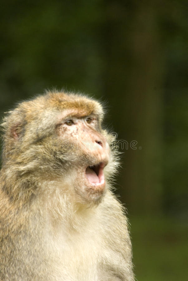 Barbary Macaque communicating. Barbary Macaque talking (Macaca Sylvanus) from the mountains forest of Morocco and Algeria stock images